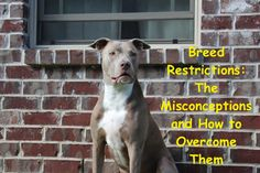 Breed Restrictions: The Misconceptions and How to Overcome Them #dogs #dontbullymybreed #pitbulls American Staffordshire Terriers, American Pit Bull Terrier, American Dog, Pitbulls, Support Dog, Bulldog, Companion Dog, Dog Fighting, Dog Show
