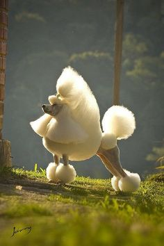 Groomed Poodle - So Perfect !