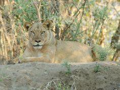 Mvuu Lodge lion