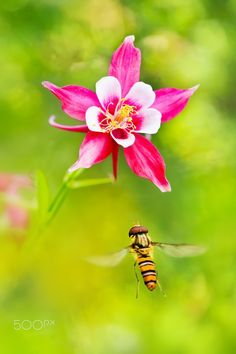 Hover fly ~ 食蚜蠅 ~ by FuYi Chen - Photo 82381459 - 500px