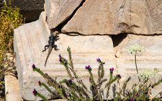 #Agamen findet man in der antiken #Stätte #Delos zuhauf © Jürgen Garneyr Mykonos, Texture, Wood, Santorini, Greece, Adventure, Vacation, Nature, Surface Finish
