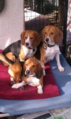 Beagle brothers #beagles #pets http://www.nojigoji.com.au/