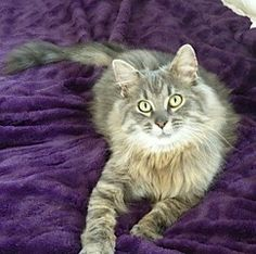 Check out Sir Gizmo Belvedere's profile on AllPaws.com and help him get adopted! Sir Gizmo Belvedere is an adorable Cat that needs a new home. https://www.allpaws.com/adopt-a-cat/maine-coon/421627