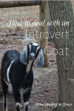 How to Deal with an Introvert Goat: