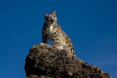 Snow Leopard my favorite cat of all