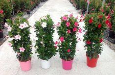 Patio Plants, House Plants, Flower Seeds, Flower Pots, Herb Seeds, Mediterranean Garden, Bulb Flowers, Garden Supplies, Artificial Plants