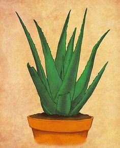 How to Grow and Care for Aloe Vera in Containers - lots of info on this site