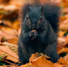 Black squirrel. Wish Oklahoma had some of these.