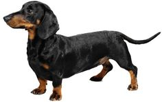 I love Dachshunds!! Sweet personalities, small bodies and short haired. This website has more breed info.