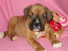 My sweet little Lollipop, 6 weeks old Boxer puppy. Boxer Bulldog, Boxer Mom, Boxer And Baby, Cute Boxer Puppies, Funny Puppies, Doggies, Heart Boxers, Animals Beautiful, Cute Animals