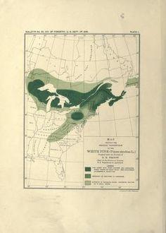 The white pine (Pinus strobus Linnaeus) / - Biodiversity Heritage Library