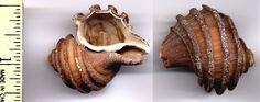 Extinct gastropod, Calvert Cliffs - Maryland's State Fossil