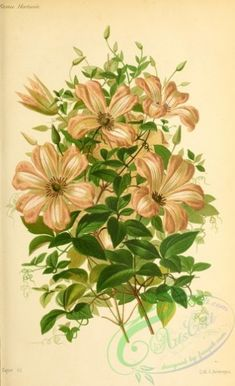 flowers-29524 - Clematis [2884x4727] - free transfer Edwardian scrapbooking use Graphic floral Victorian printable flower collection blooming nice flowers 1700s wall century naturalist botany nature pages vintage old digital illustration 300 dpi download pre-1923 art plants fabric 17th public picture domain natural decoration collage high paintings craft flora Pictorial 1800s masterpiece royalty instant  botanical Paper clipart ArtsCult ArtsCult.com 1900s beautiful Artscult books engravings…