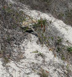 Oscar, a gopher tortoise,  lives here.