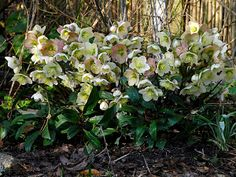 Helleborus are evergreen winter-bloomers, one of the few plants that flower during cold weather.  Most hellebores grow to 1' H x 2' W.