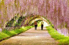 ******* ASHIKAGA, UN PARAÍSO PRIMAVERAL- JAPÓN ***    Cada primavera, el parque de los japoneses isla de Honshu en Ashikaga, las flores resplandecen cada vez que comienzan la lluvias. Estas cascadas púrpuras de glicinas , son grandes enredaderas, suficientes para decorar el gran parque, llegando a la altura de una casa de seis pisos, que producen flores fragantes, reunidas en el cepillo sobresaliente de un jardín natural.