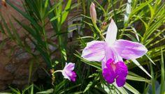orquídea-bambu (Arundina bambusifolia)