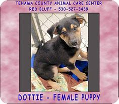 Red Bluff, CA - Labrador Retriever Mix. Meet DOTTIE a Puppy for Adoption.