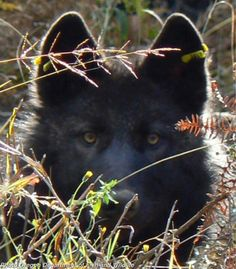 Documentary of Oregon's wandering wolf, OR-7, screened at Hollywood Theatre