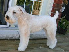 Wheaten Terrier Hair Styles Wallpaper HD - dlwallhd.