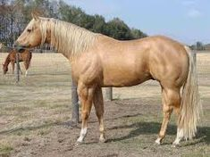 Stocky. Beautiful. I miss my old palomino. She'll be 29 this year. I need to try to talk her owner into letting me buy her back since she is getting NO attention whatsoever where she is. I could give her the love she deserves for the rest of her days.