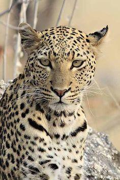 Leopard in Namibia - Etosha