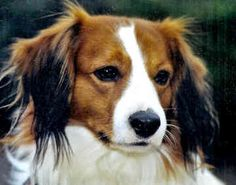 Kooikerhondje!! A beautiful breed of dog with Dutch roots.