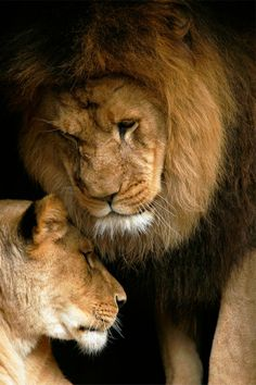 Earth pics lion love by stephen oachs beautiful cats, animals beautiful, Beautiful Cats, Animals Beautiful, Lion And Lioness, Lion Love, Photo Animaliere, Tier Fotos, Big Cats, Beautiful Creatures, Animal Photography