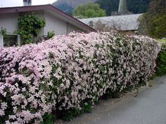 Clematis Montana Rubens - Clematis Forum - GardenWeb - climbing vine