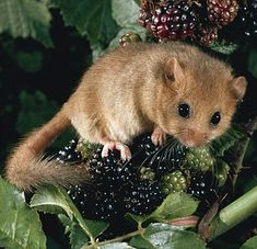 Dormouse - it is worth it
