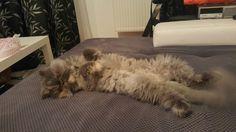 Persian cat Mara