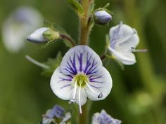 11 Best Globularia Globe Flower Images Globe Flower Plants