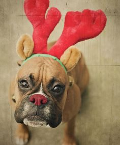Quem nunca se deparou com fotos inusitadas de cães da raça boxer? Selecionamos algumas para você rir e se encantar. Confira: