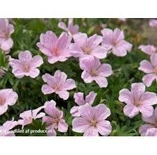 GERANIUM sanguineum 'Pink Pouffe' - Storkenæb, farve: rosa, lysforhold: sol/halvskygge, højde: 30 cm, blomstring: maj - august, god til bunddække, god til bier og andre insekter.