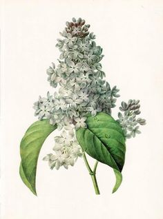 free printable Lilac by Pierre-Joseph Redoute
