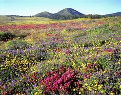 USA, California, Cuyamaca Rancho State Park. Wildflowers near Lake Cuyamaca and Stonewall Peak.  Credit as: Christopher Talbot Frank / Jaynes Gallery / DanitaDelimont.com