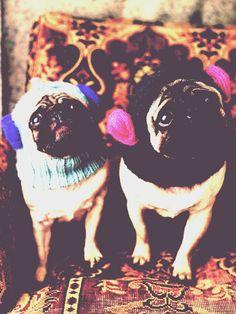 cute pugs wearing balaclava to protect their sensitive ears...