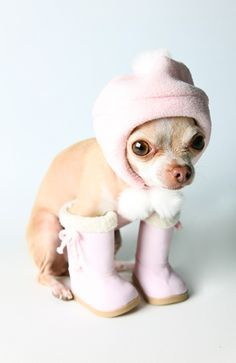 Chihuahua in boots and cap - poor thing