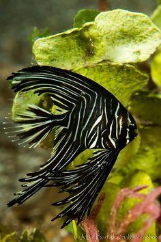 Batavia Spadefish (Platax batavianus) #TropicalFishFreshwater