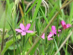 Dianthus armeria  Deptford Pink Nature, Plants, Pink, Naturaleza, Plant, Nature Illustration, Pink Hair, Off Grid, Roses