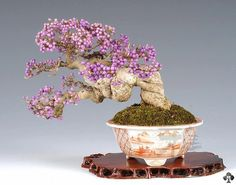 Callicarpa Japonica Bonsai, bearing flashy purple fruits.