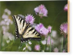 Swallowtail Butterfly Dream Wood Print by Christina Rollo. All wood prints are professionally printed, packaged, and shipped within 3 - 4 business days and delivered ready-to-hang on your wall. Choose from multiple sizes and mounting options. Wood Plank Art, Thing 1, Wood Burning Patterns, Gifts For Nature Lovers, Dream Art, Poster Making, Wood Print, Canvas Art Prints, Wedding Signs