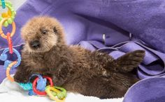 Shedd, Monterey Bay Offer Second Chance For Sea Otter Pup | Shedd Aquarium