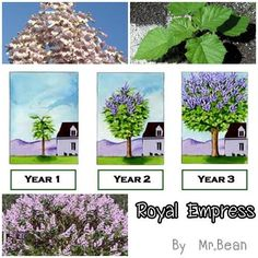 """Royal Empress Tree...grows 15-18 ft./year. Empress Tree Facts Grows up to 10 feet or more in the very First Season! Explodes with rich lavender flowers that look like Orchids but smell like Jasmine. Grows as far north as Canada and as far south as Mexico."