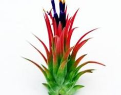 RARE Huamelula Air Plants - 30 Day Air Plant Guarantee - Exotic and Rare air plant - Air Plants for Sale - FAST SHIPPING