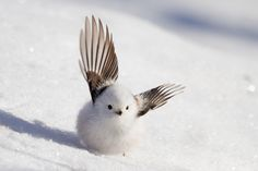 Looks almost like a snowman with wings Amazing Animals, Pretty Animals, Cute Animals, Animals Of The World, Animals And Pets, Baby Animals, Beautiful Birds, Animals Beautiful, Mundo Animal