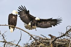 The largest Bald Eagle nest on record was 9.5 ft wide and 20 ft  high and weighed more than two tons. Credit: Hung Tran