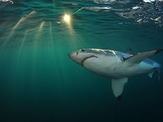 White Shark Projects - Shark cage diving trips in Gansbaai, only 2 hours from Cape Town, South Africa Orcas, Shark Diving, Sharks, Shark Cage, Africa Destinations, Cape Town South Africa, Great White Shark, Adventure Activities, Shark Week