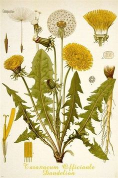 dandelion flower CLASSIC BOTANICAL POSTER scientific RARE top notch 24X36