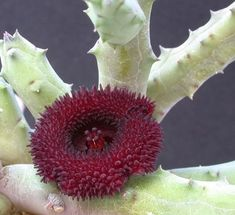 Huernia hystrix (unresolved name)